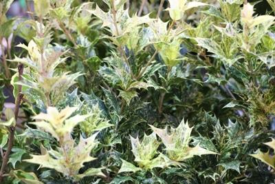 osmanthus heterophyllus stachelblaettrige duftbluete