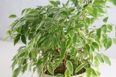 birkenfeige ficus benjamina badezimmerpflanze