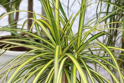 drachenbaum dracaena deremensis