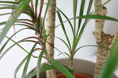 drachenbaum dracaena
