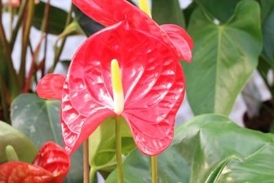 flamingoblume anthurie badezimmerpflanze