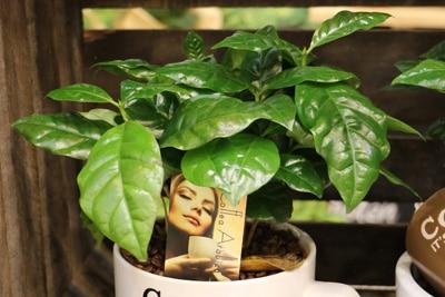 kaffeestrauch coffea arabica ikea-gruenpflanze