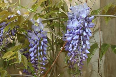 Blühender Blauregen