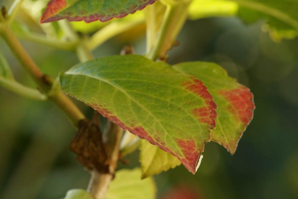 Hortensie mit braunen Blättern