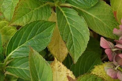 Gelbe Blätter an Hortensie