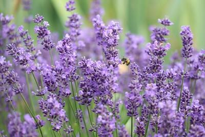Lavendel-Lavandula-angustifolia