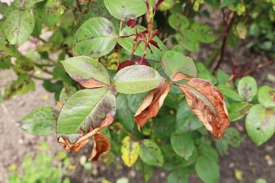 Sternrußtau und braune Blätter an Rose, Pflanze braune Spitzen