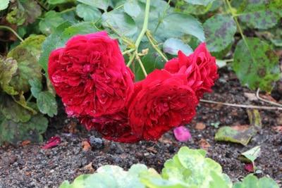 Kranke Rose