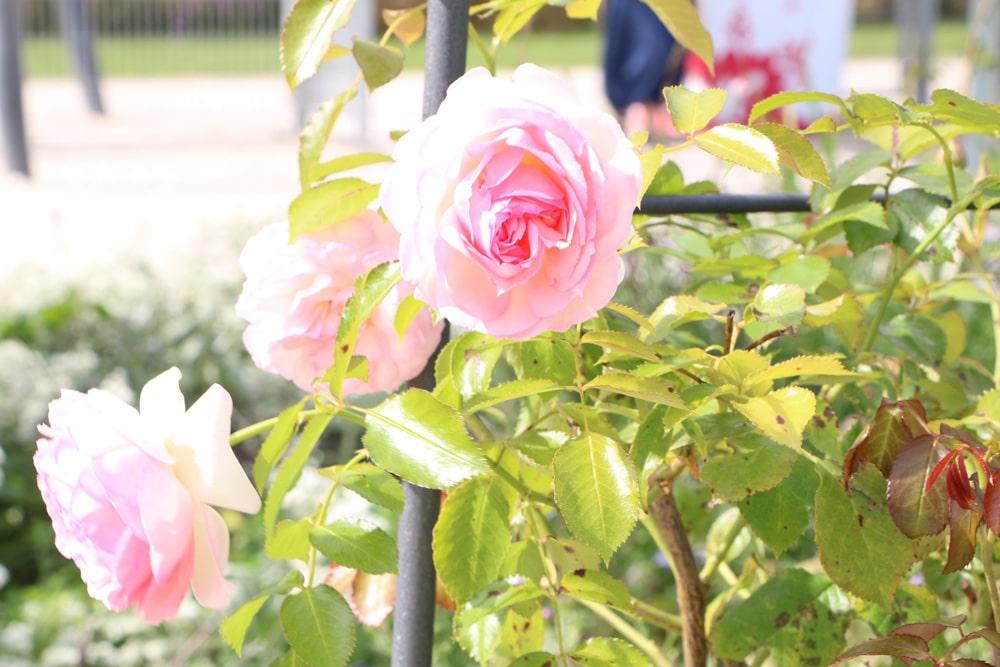Gelbe Blätter an Rose