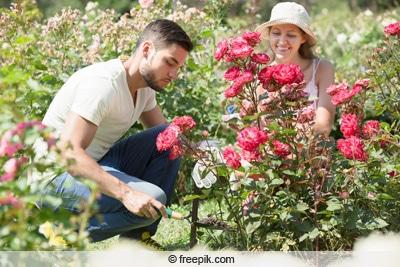 Junges Paar pflanzt Rosen in Garten