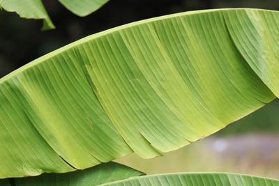 Vertrocknetes Blatt einer Bananenpflanze