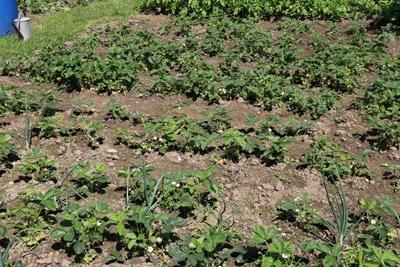 Blick auf Erdbeerbeet im Garten