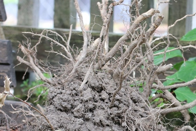 Blick auf ausgegrabene Wurzel