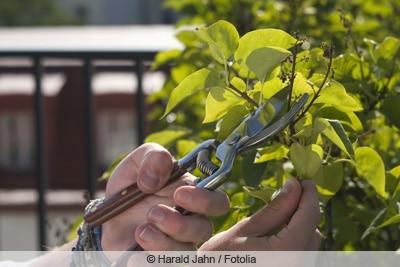 Ausschneiden eines Flieders mit Gartenschere