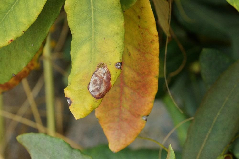 Rhododendron - braune Blätter