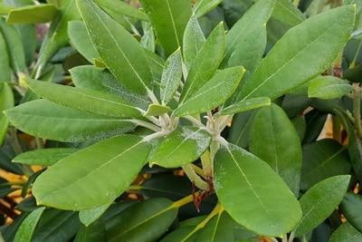 Echter Mehltau an Rhododendron