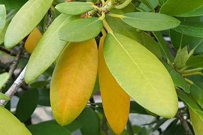 Gelbe Blätter durch Stickstoffmangel