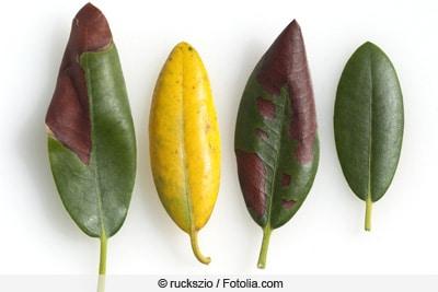 Übersicht über kranke Rhododendron-Blätter