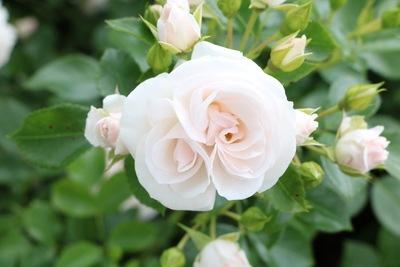 Rosen umpflanzen - Rose mit weißer Blüte