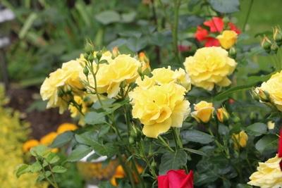 Rosen umpflanzen - Gelbe Rosen