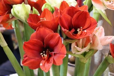 Geöffnete Amaryllis-Blüten