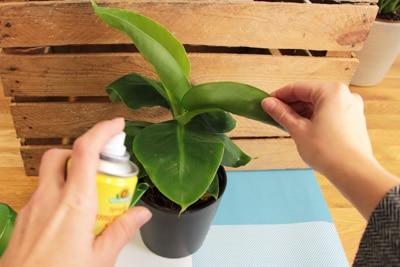 Besprühen einer Bananenpflanze