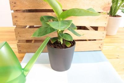 Bananenpflanze im Topf mit Gießkanne
