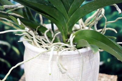 Vanda-Orchidee im Topf