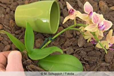 Orchidee aus Topf genommen