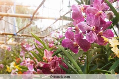Vanda-Orchideen im Gewächshaus