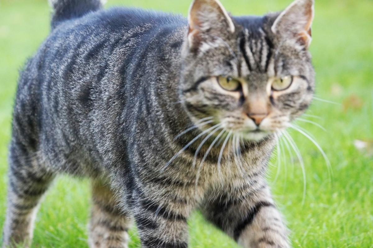 Siebenschläfer vertreiben - Katze als Feind