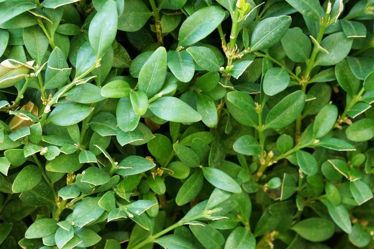Buchsbaum - Buxus
