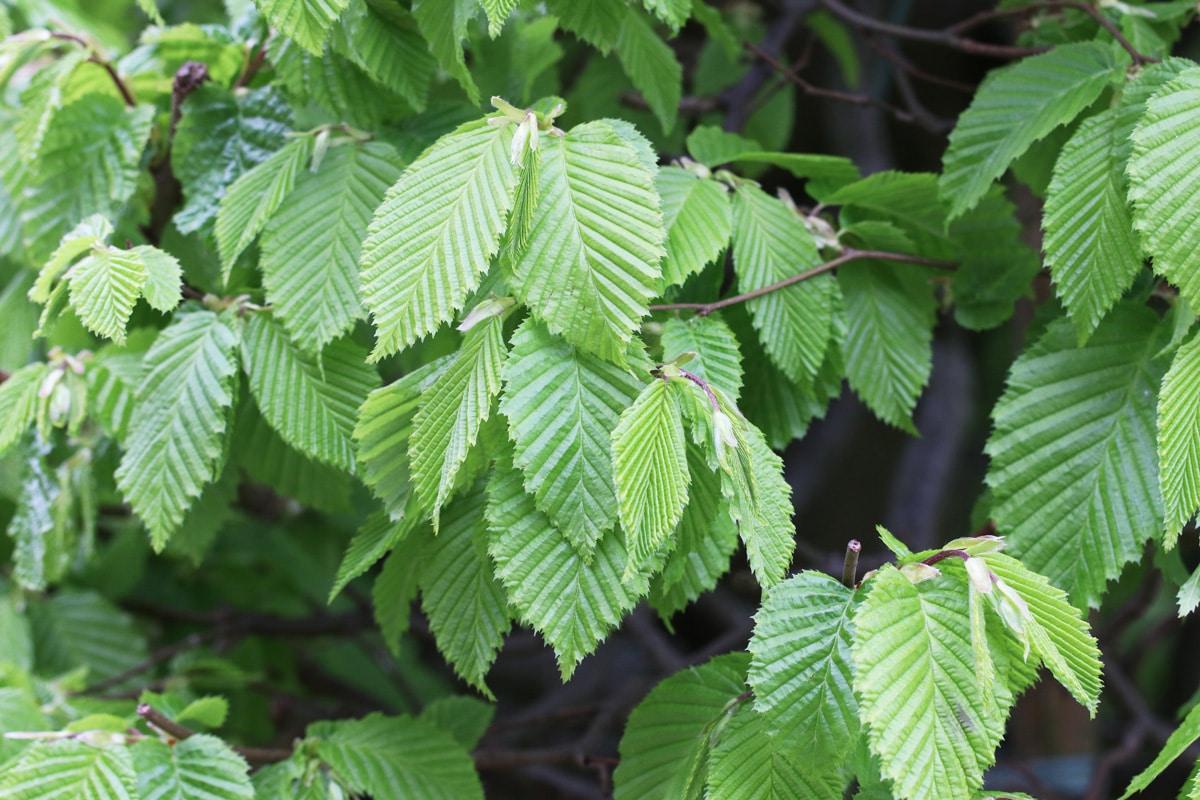 Hainbuche - Carpinus betulus