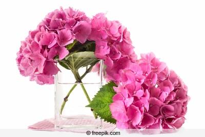 Abgeschnittene Hortensienblüten im Wasserglas