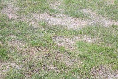 Kranker fleckiger Rasen