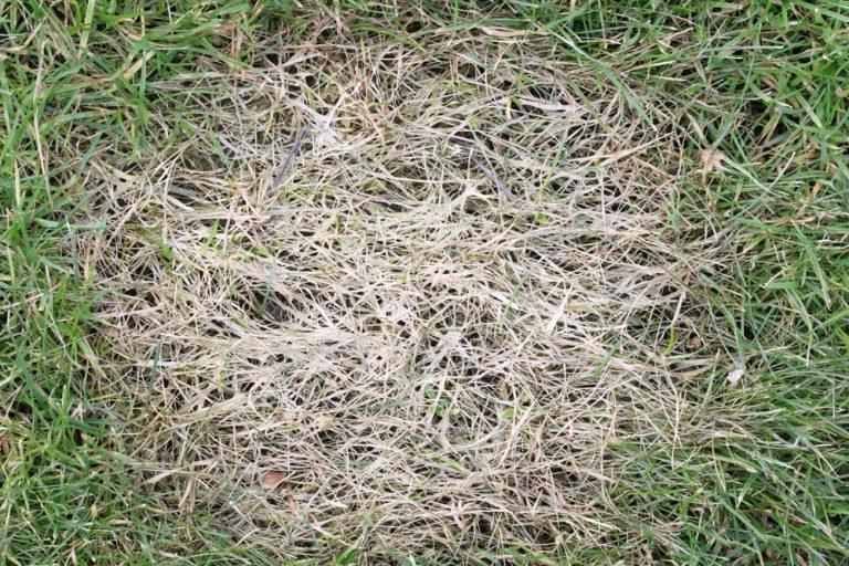 Halme frühjahr gelbe rasen Gelber Rasen: