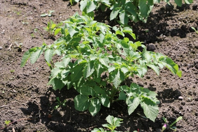 Kartoffelpflanze im Beet, Kartoffel-Mischkultur
