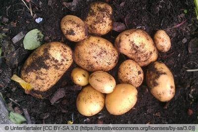 Kartoffelsorte 'Belana' frisch geerntet
