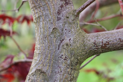 Japanischer Fächerahorn - Zierahorn
