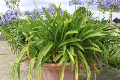 Schmucklilie - Agapanthus