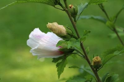 Garten-Hibiskus - Hibiscus syriacus