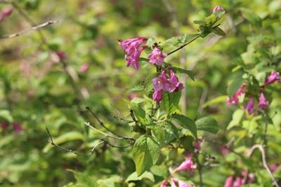 Frühblühende Weigelie - Weigela praecox