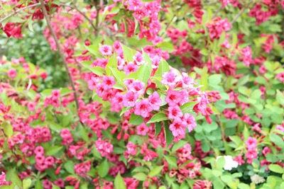 Weigelie - Weigela