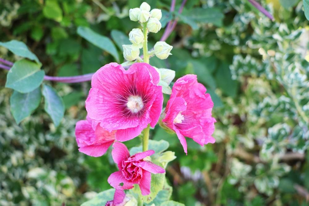 Stockrosen - Alcea rosea