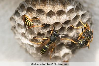 Wespen am Nest
