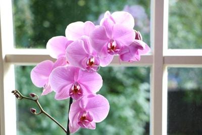 Orchidee am Fenster