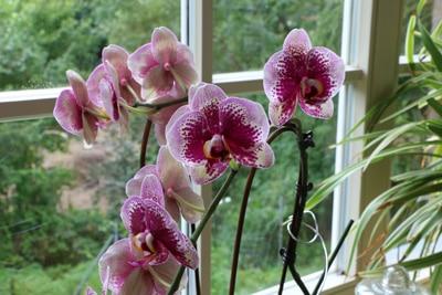 Schmetterlingsorchidee am Fenster
