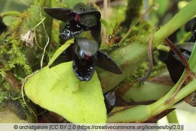 Brasiliorchis schunkeana - Maxillaria schunkeana