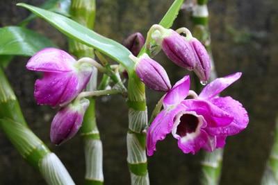 Dendrobium - Orchidee