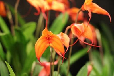 Epidendrum - Orchidee